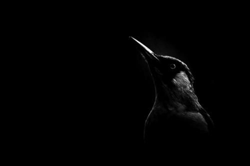 Fekete madár